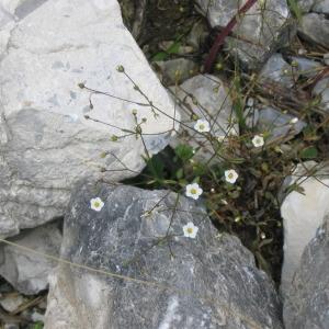 Photographie n°146509 du taxon Linum catharticum L.
