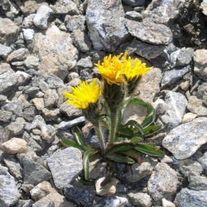 Crepis rhaetica Hegetschw. (Crépide des Alpes rhétiques)