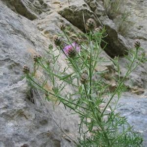 Photographie n°146578 du taxon Centaurea corymbosa Pourr. [1788]