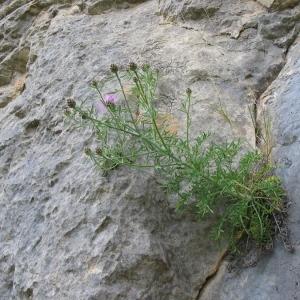 Photographie n°146579 du taxon Centaurea corymbosa Pourr. [1788]