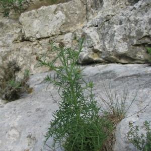 Photographie n°146580 du taxon Centaurea corymbosa Pourr. [1788]