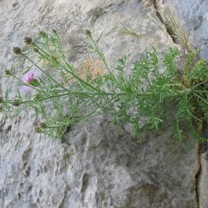 Photographie n°146581 du taxon Centaurea corymbosa Pourr. [1788]