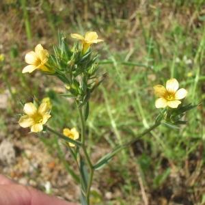 Photographie n°146591 du taxon Linum strictum L.