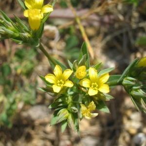 Photographie n°146593 du taxon Linum strictum L.