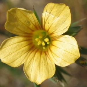 Photographie n°146594 du taxon Linum strictum L.