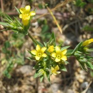 Photographie n°146595 du taxon Linum strictum L.