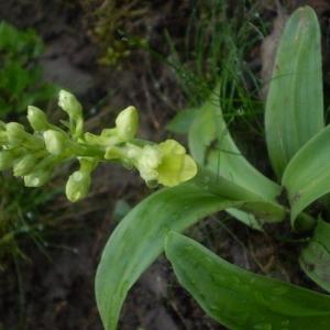 Photographie n°146628 du taxon Orchis pallens L. [1771]