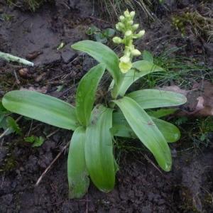 Photographie n°146630 du taxon Orchis pallens L. [1771]