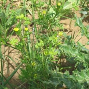 Photographie n°146658 du taxon Ranunculus arvensis L. [1753]