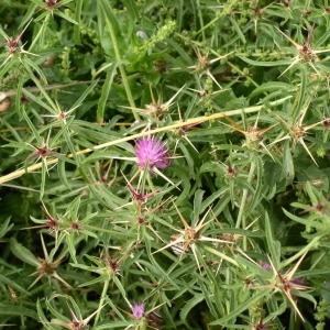 Photographie n°146719 du taxon Centaurea calcitrapa L. [1753]