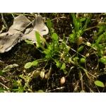 Ranunculus nodiflorus L. (Renoncule à fleurs nodales)