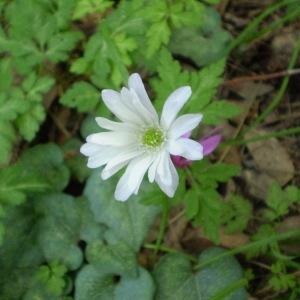 Photographie n°146805 du taxon Anemone apennina L. [1753]