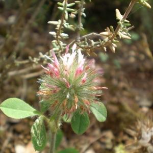 - Trifolium hirtum All. [1789]