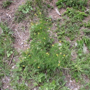 Photographie n°146869 du taxon Astragalus penduliflorus Lam. [1779]