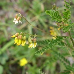 Photographie n°146870 du taxon Astragalus penduliflorus Lam. [1779]