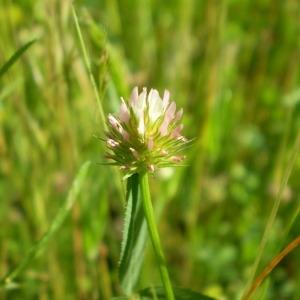 - Trifolium strictum L. [1755]
