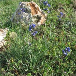 Photographie n°146891 du taxon Anchusa officinalis L. [1753]