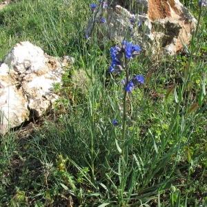 Photographie n°146894 du taxon Anchusa officinalis L. [1753]