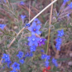Photographie n°146896 du taxon Anchusa officinalis L. [1753]