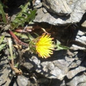 Photographie n°146947 du taxon Taraxacum mattmarkense Soest