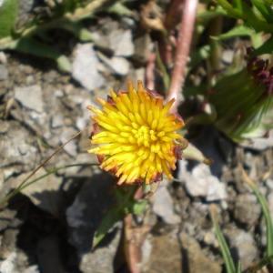 Photographie n°146949 du taxon Taraxacum mattmarkense Soest