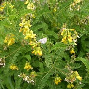 Photographie n°147007 du taxon Astragalus penduliflorus Lam. [1779]