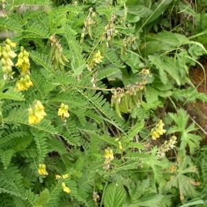 Photographie n°147008 du taxon Astragalus penduliflorus Lam. [1779]