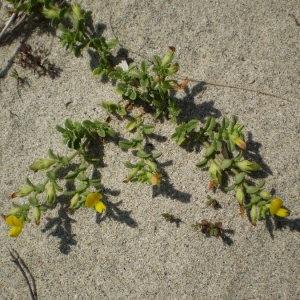 - Ononis variegata L.