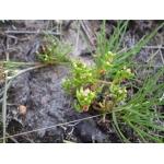 Crassula vaillantii (Willd.) Roth (Crassule de Vaillant)