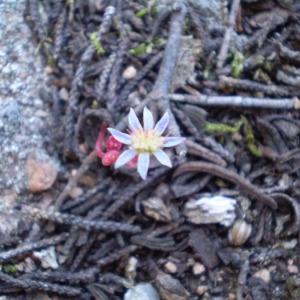 Photographie n°147199 du taxon Sedum caeruleum L.