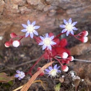Photographie n°147200 du taxon Sedum caeruleum L.