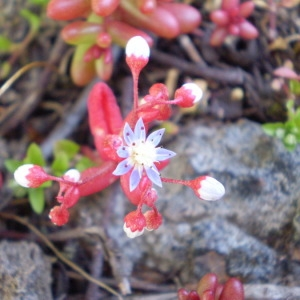 Photographie n°147201 du taxon Sedum caeruleum L.