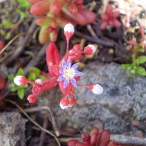 Photographie n°147202 du taxon Sedum caeruleum L.