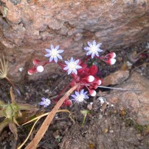 Photographie n°147203 du taxon Sedum caeruleum L.
