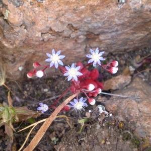 Photographie n°147204 du taxon Sedum caeruleum L.