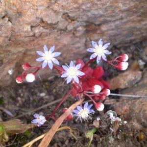 Photographie n°147205 du taxon Sedum caeruleum L.