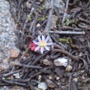 - Sedum caeruleum L.