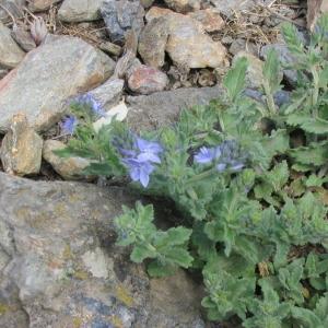 Photographie n°147244 du taxon Veronica austriaca L.