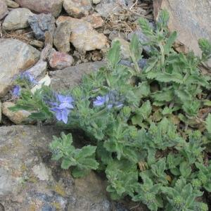Photographie n°147245 du taxon Veronica austriaca L.