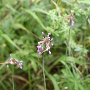 Photographie n°147266 du taxon Allium carinatum L. [1753]