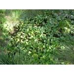 Calla palustris L. (Calla des marais)