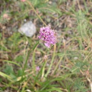 Photographie n°147270 du taxon Allium lusitanicum Lam. [1783]
