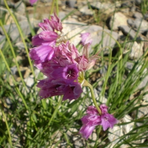 Photographie n°147286 du taxon Allium narcissiflorum Vill. [1779]