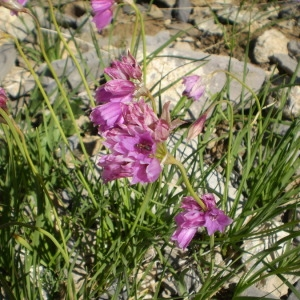 Photographie n°147289 du taxon Allium narcissiflorum Vill. [1779]