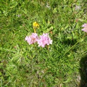 Photographie n°147338 du taxon Armeria alpina Willd. [1809]