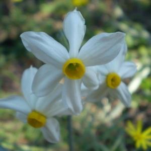 Photographie n°147367 du taxon Narcissus tazetta L.