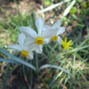 Photographie n°147368 du taxon Narcissus tazetta L.