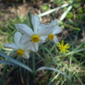 Photographie n°147369 du taxon Narcissus tazetta L.