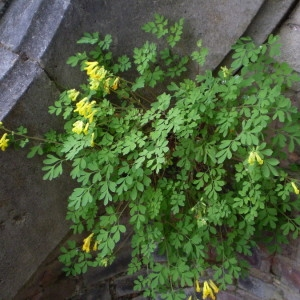 Photographie n°147381 du taxon Pseudofumaria lutea (L.) Borkh. [1797]