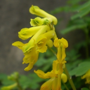 - Pseudofumaria lutea (L.) Borkh. [1797]